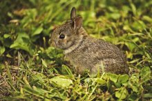 baby_wild_rabbit_1_by_michellalonde-d54j3c1